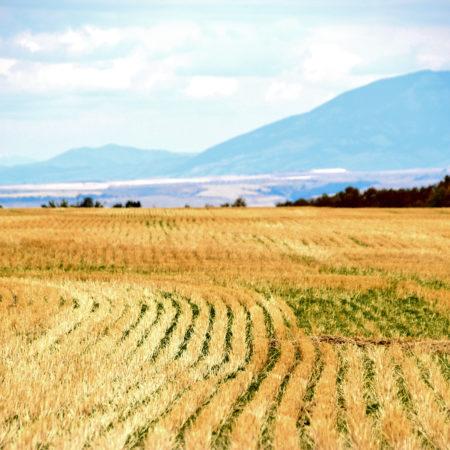 Canva - Rice Field